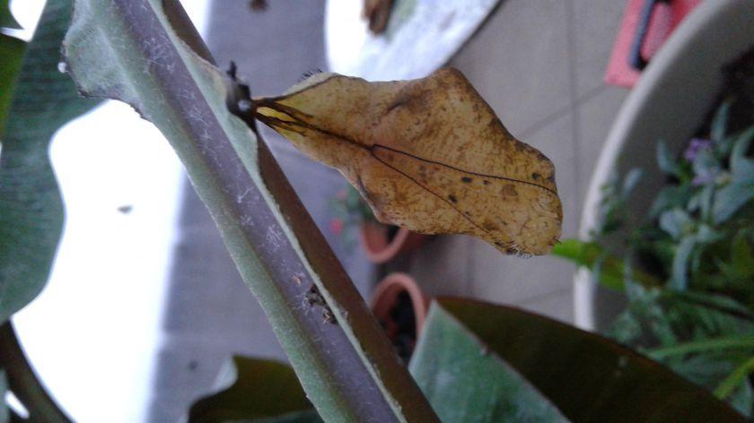 Sėkminga metamorfozė: sparnus išskleidė atogrąžų drugys