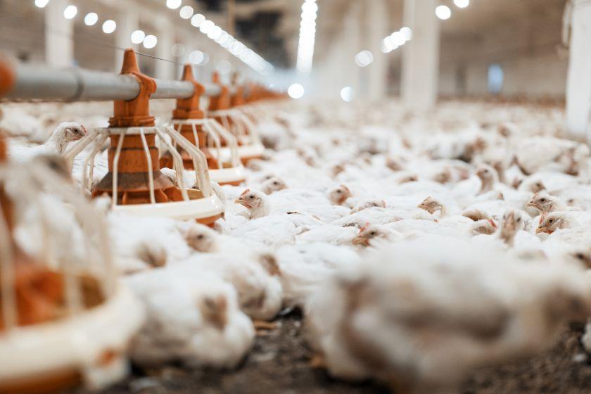 Viščiukų broilerių auginimas, lesinimas ir ligos – ką reikėtų žinoti?