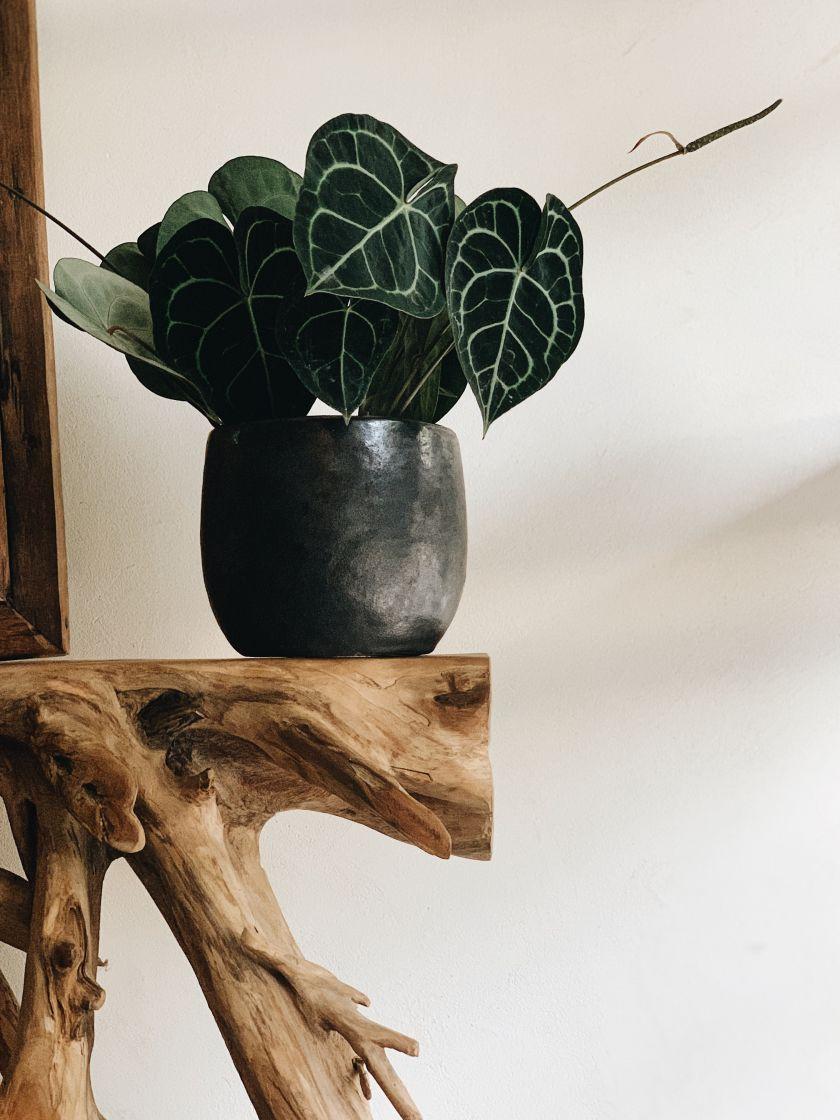 Kambarinių gėlių persodinimas: ką reikėtų žinoti, o ko geriau nedaryti?