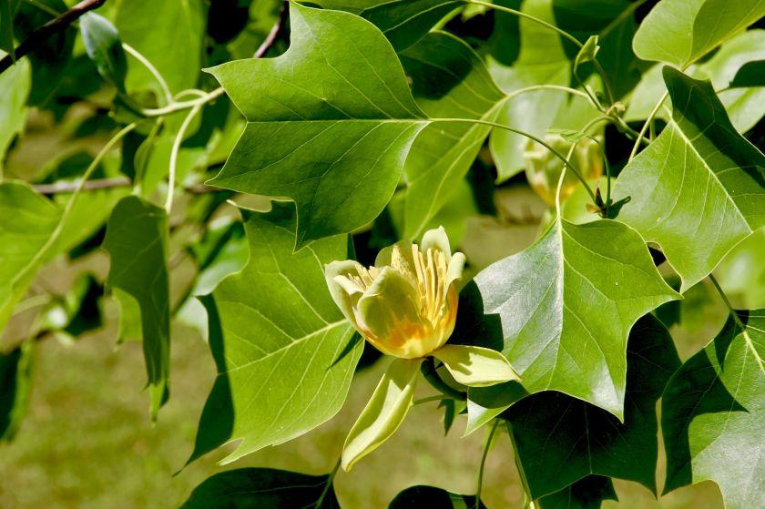 Puošniausias birželio medis: 8 faktai apie geltonžiedį tulpmedį