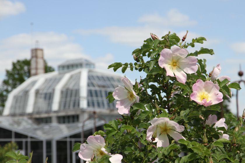 Vasaros pradžią skelbia pirmosios rožės: pražydo ankstyviausia didžiausio šalies rožyno grupė