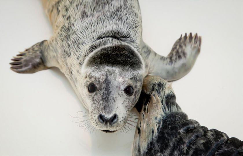 Baltijos jūroje ruonių skaičius sumažėjo 15 kartų: kaip galime tai pakeisti?
