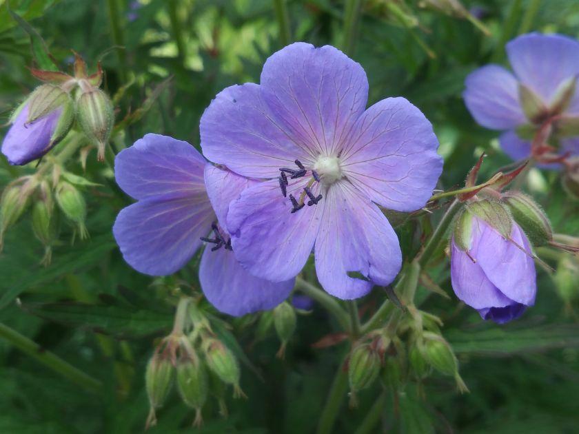 Unikalioje VDU Botanikos sodo ekspozicijoje – dėmesys lietuviškoms gėlių veislėms