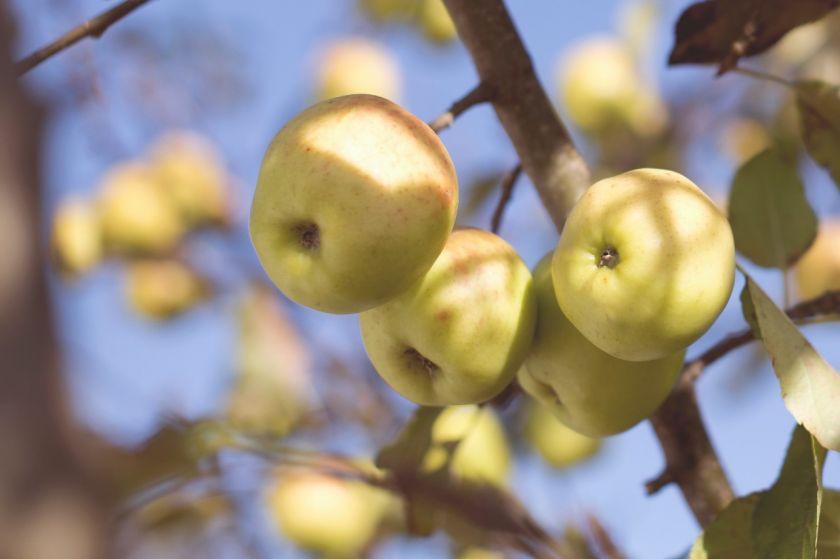 Lietuviško aukso – obuolių sezonas: iššūkių kupini metai ir sveikuoliško deserto receptas